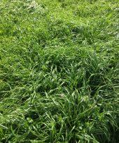 Italian Ryegrass
